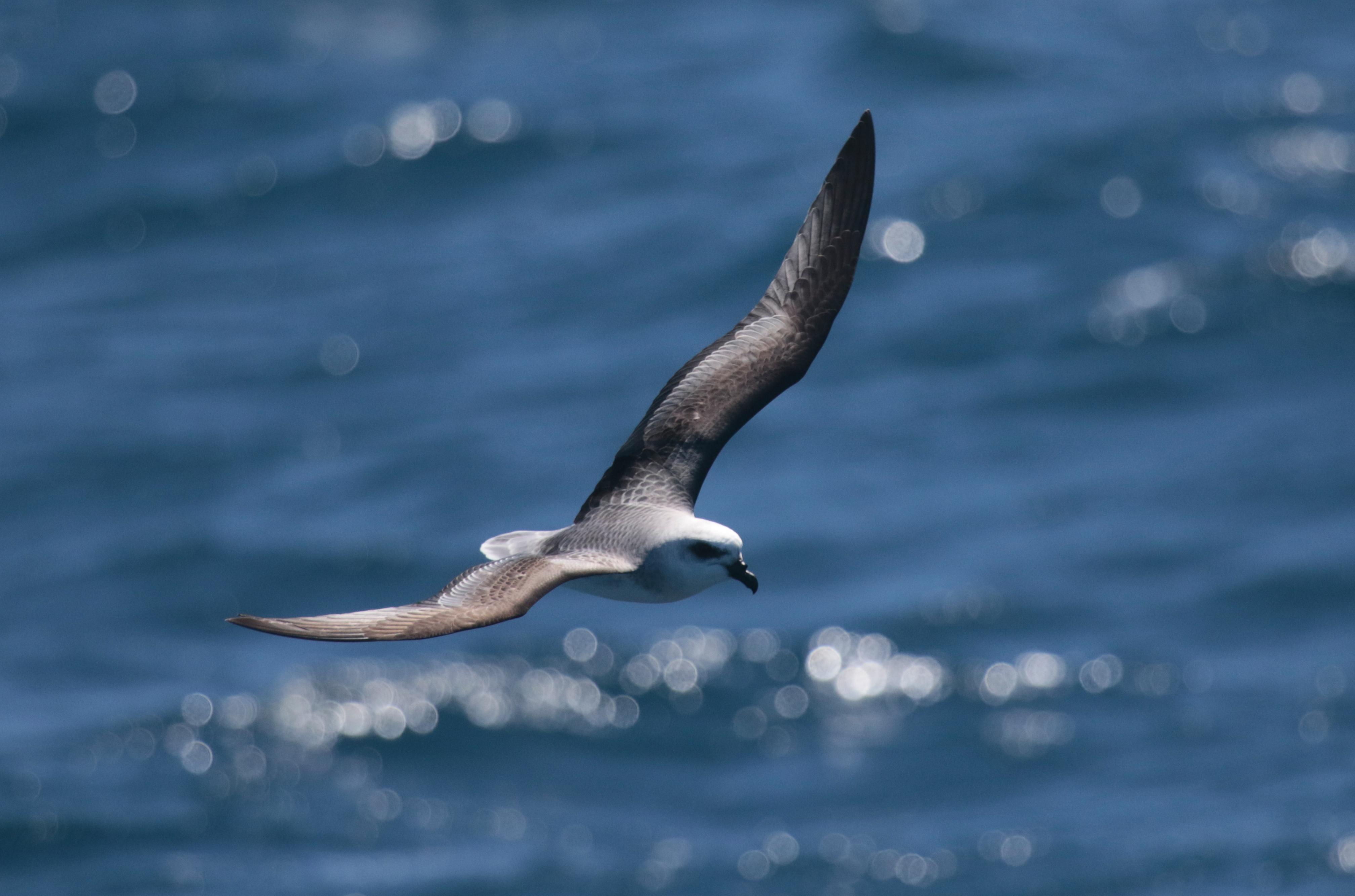 Birdswing ~ Port Fairy Pelagic Tour Reports